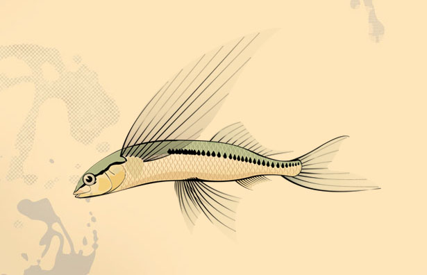 Scientific illustration scientific illustrator freelance for Flying fish drawing
